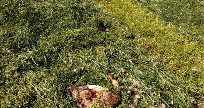 Dood gemaaide akker- en weidevogel